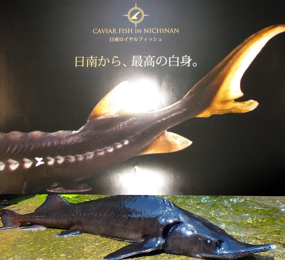 チョウザメの写真